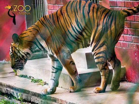 The tiger peeing!!!