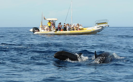 Los Gigantes, Spain: False killer whales