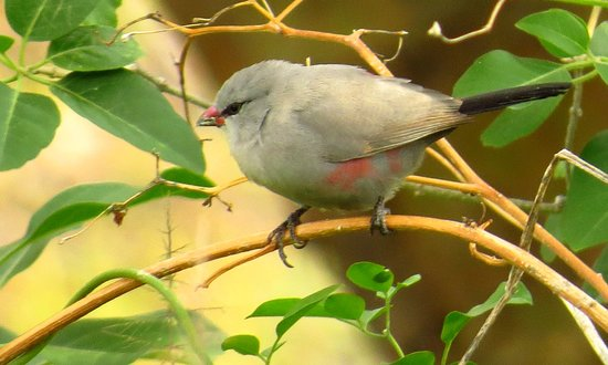Ruacana, Намибия: Best birding. Cinderella Waxbill