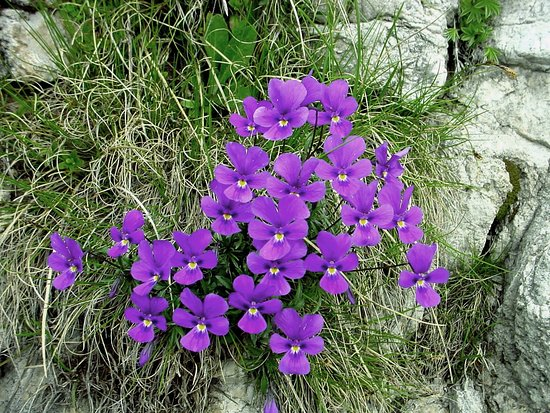 """Bel gruppo di """"Viola Alpina"""" (Deep Purple) nel Gruppo delle Grigne e precisamente in Grignetta sopra i Piani Resinelli."""