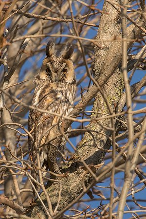 Wings of Hungary - birding and nature tours: Long-eared owl