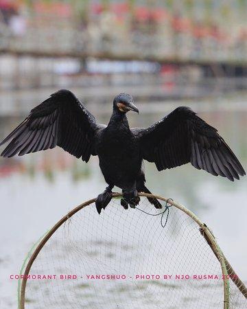 Jerry's guide & driver service: Cormorant Bird
