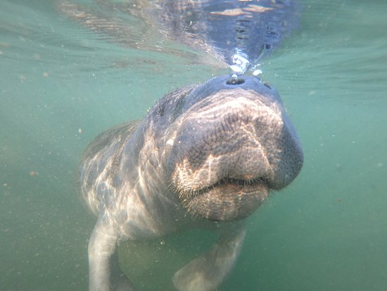 Small Group Swim with Manatee Adventure: Hello.