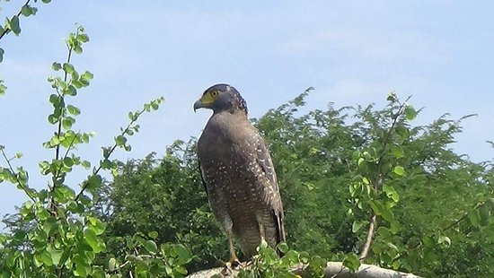 Udawalawa, Sri Lanka: CRESTED SERPENT EAGLE