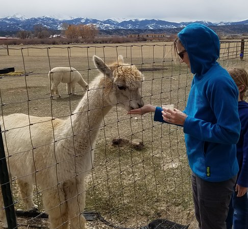 Salida, CO: Get up close with the alpacas.