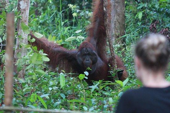 Orangutan Borneo Tanjung Puting Tour 2 nights
