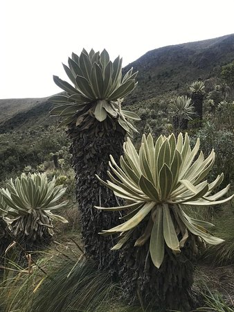 El Angel, Эквадор: frailejon