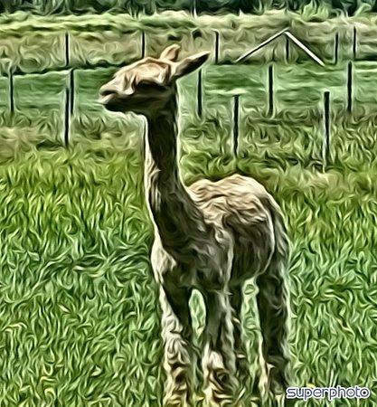 Carrageen Suri Alpacas