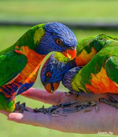 Arrawarra, Австралия: Lorikeet feeding in the afternoon.