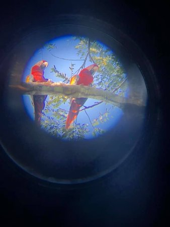 Scarlet macaws at the national park