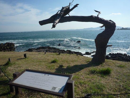 Iwaisaki Dragon Pine