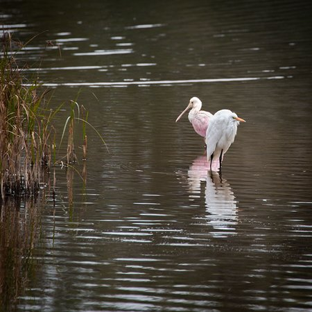Beaufort, SC: Roseate and Egret