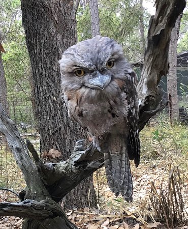 This is a tawny frog mouth. They are sometimes injured when hunting and need TLC.
