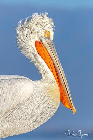 Χρυσοχώραφα, Ελλάδα: Dalmatian pelican in breeding plumage from nearby Lake Kerkini