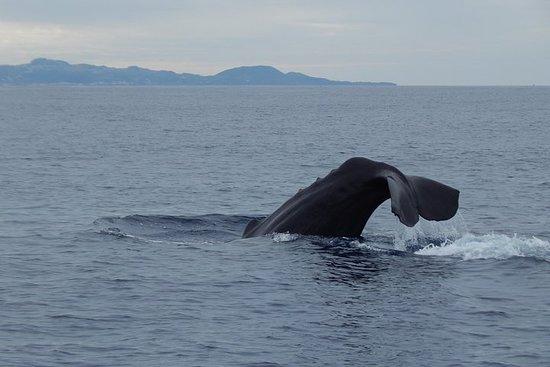テルセイラ島アゾレス諸島のホエールウォッチング| OceanEmotion