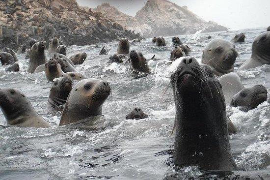 Visita a los lobos marinos de las...