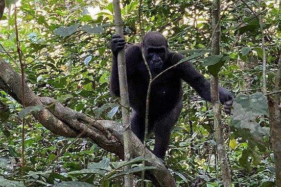 5 Tage Gorilla Tracking in Gabun