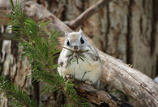 Shiretoko Peninsula, Япония: エゾモモンガ, Siberian Flying Squirrel