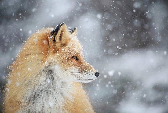 Shiretoko Peninsula, Япония: キタキツネ, Red Fox