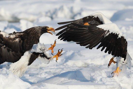 Shiretoko Peninsula, Япония: オオワシ, Steller's Sea Eagle