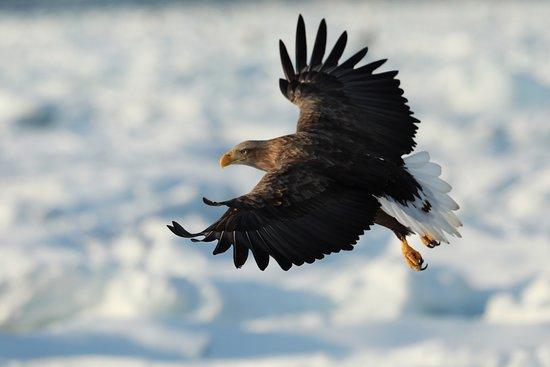 Shiretoko Peninsula, Япония: オジロワシ, White Tailed Eagle
