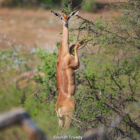 Samburu National Reserve, Keňa: Thegerenukalso known as thegiraffe gazelle, is a long-neckedantelopespotted in theSamburu region in Kenya . #MagicalKenya  #ComeLiveTheMagic  #TembeaKenya  #DiscoverMagicalKenya 📸@sourish.trivedy.photography