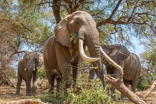 Zambia: Photographing Boswell, famed to be the largest tusker in Southern Africa from ground level a mere 2m away!