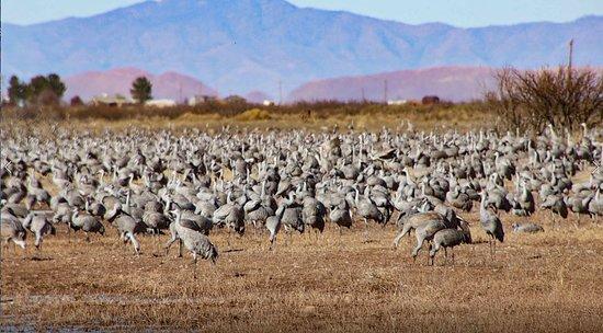 McNeal, AZ: Masses of Cranes