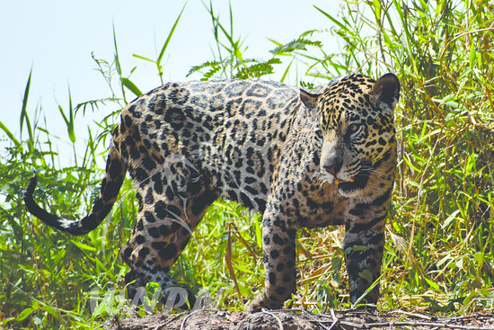 Porto Joffre: O jaguar fotografado em um tour