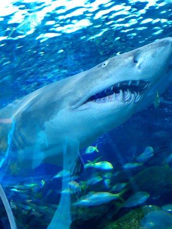 Keine Warteschlangen: Ripley's Aquarium of Canada in Toronto: Incrível tubarão. Lindo!