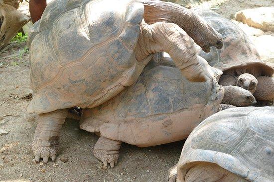 """Sainte Anne Island, Seychelles: """"Landschildkrötenfabrik"""""""
