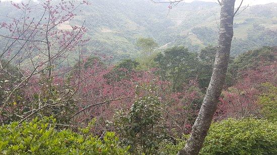 台灣金峰: 2月太麻里金針山青山農場盛開的櫻花