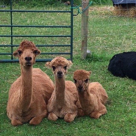 Tickhill Alpacas