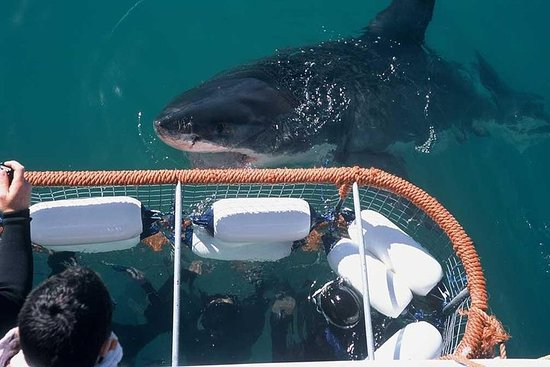 Shark Cage Diving & Viewing Tour in ...