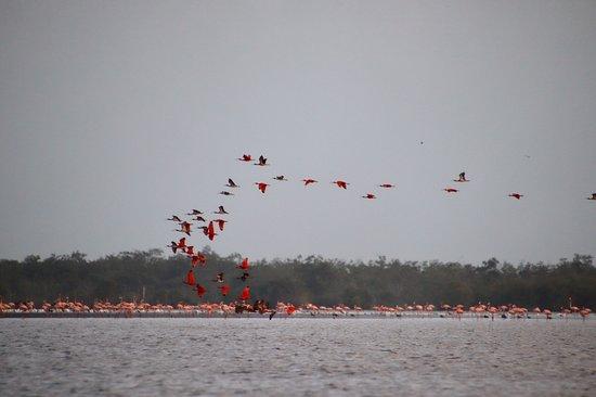 Nieuw Nickerie, Surinam : Flamingo's and a flight of Red Ibises at Bigi Pan at dusk.