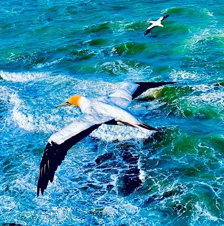 Beautiful Pohutukawa Coast - Half Day Private Tour: Mom or dad gannet