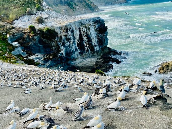 Beautiful Pohutukawa Coast - Half Day Private Tour: Grouping of Gannets at different ages. They must grow before they can fly back to Australia with their babies