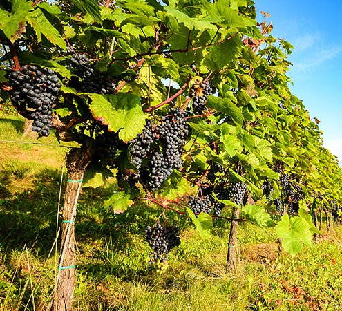Finger Lakes Wine Country, NY: Get a chance to have an incredible wine tasting experience with our excellent services of #Wine #tasting #tours #near #me! We give you an #amazing #chance to enjoy your favorite wine flavors for an ultimate experience. Our professional team will always stay by your side to make your whole experience #memorable! https://royaltytrips.com/wine-tour.html #Wine #tasting #tours #near #me #amazing #chance #memorable
