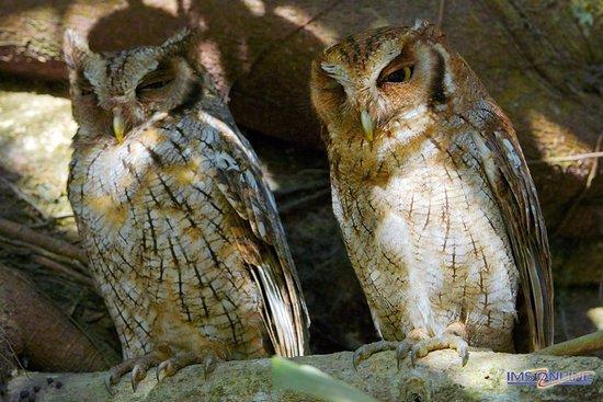 Puerto Jimenes, Costa Rica: Tropical Screech Owl