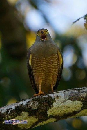 Puerto Jimenes, Коста-Рика: Roadsided Hawk
