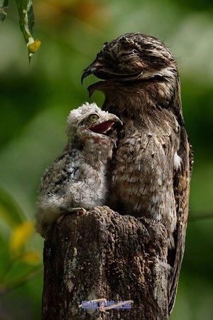 Puerto Jimenes, Коста-Рика: Common Potoo