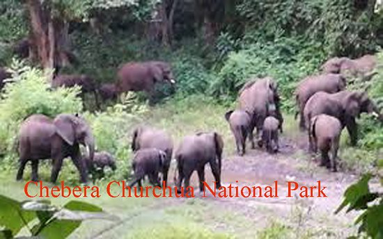 Tiya, Эфиопия: Elephants in Chebera Churchura are wild, seeable at any season but better between November and May ( when the rainfall is lowered and grass dried up  or  easy to walk in..