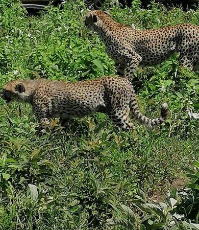 Ngorongoro Conservation Area, Τανζανία: Mamma ghepardo con cucciolo