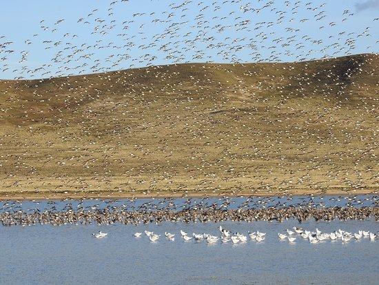Tierra del Fuego, شيلي: Sitio Ramsar Bahía Lomas, un lugar único para aves playeras que viajan desde el ártico canadiense hasta Tierra del Fuego en Chile. 