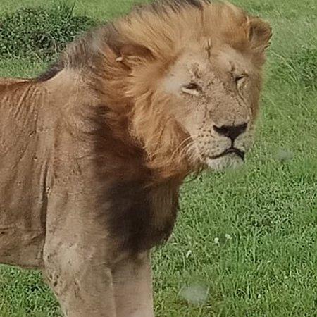 Masai Mara Nationalreservat, Kenia: Mara lions