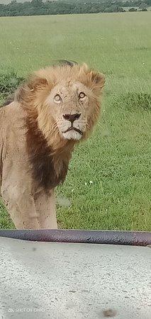 Masai Mara Nationalreservat, Kenia: Maasai mara lions