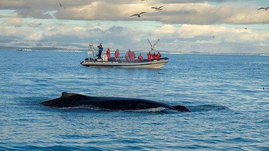 Cruzeiro de observação de baleias de...