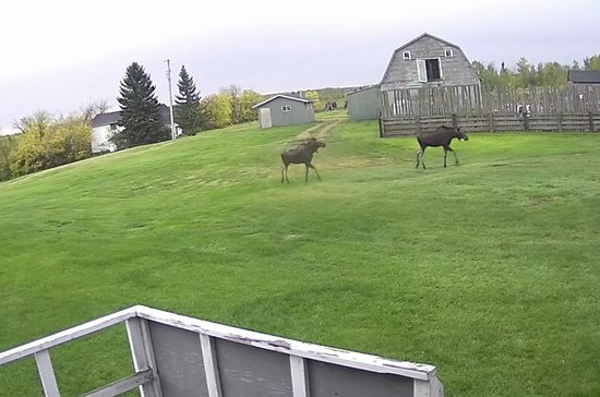 Wildlife is abundant at BUMP. Two moose heading to see what what is happening out at the Sprint track. Picture take from BUMPs sign-in building deck.