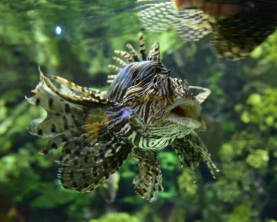 Keine Warteschlangen: Ripley's Aquarium of Canada in Toronto: Lion Fish very deadly