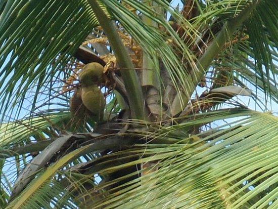 Grandeur of the Seas: Coconut Tree at Haiti excursion.